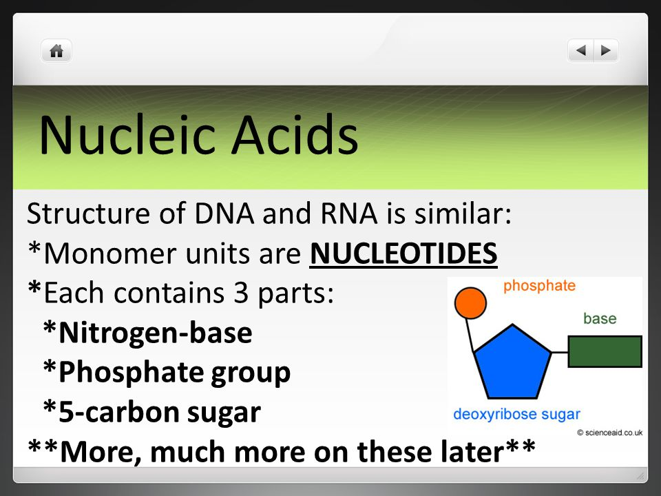 Nucleic Acids Structure of DNA and RNA is similar: *Monomer units are NUCLEOTIDES *Each contains 3 parts: *Nitrogen-base *Phosphate group *5-carbon sugar **More, much more on these later**