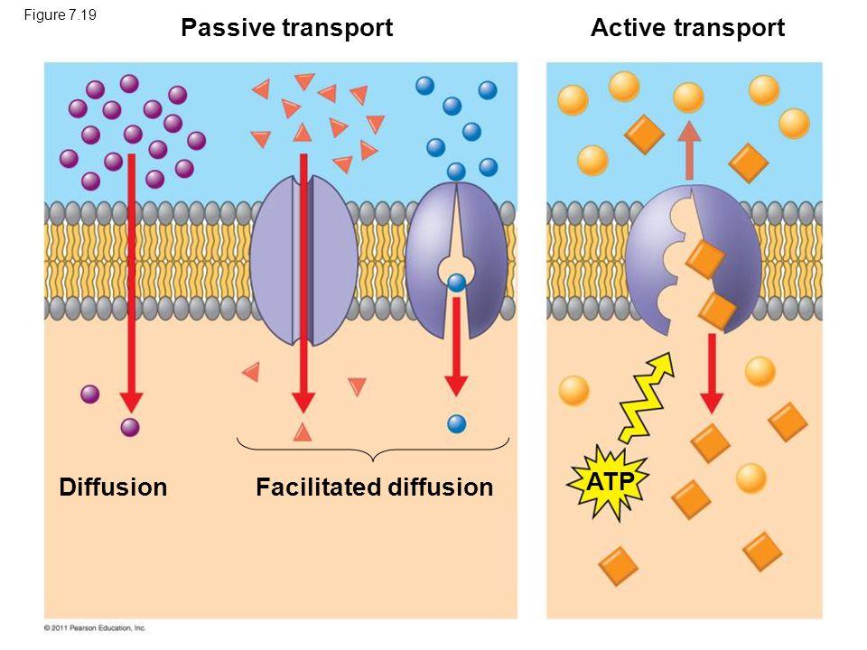 Figure 7.19 Passive transportActive transport DiffusionFacilitated diffusion ATP