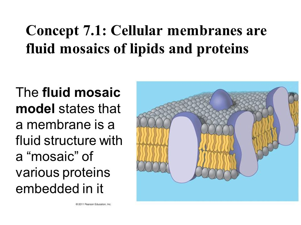 The Fluidity of Membranes Phospholipids in the plasma membrane can move within the bilayer Most of the lipids, and some proteins, drift laterally Rarely does a molecule flip-flop transversely across the membrane © 2011 Pearson Education, Inc.