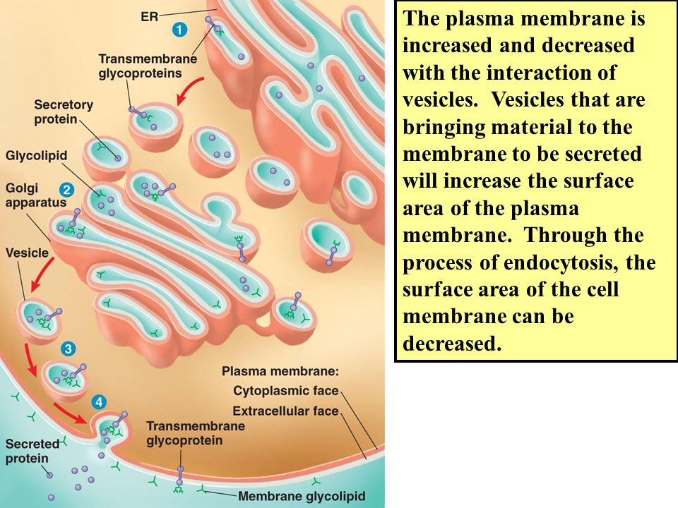 The plasma membrane is increased and decreased with the interaction of vesicles.