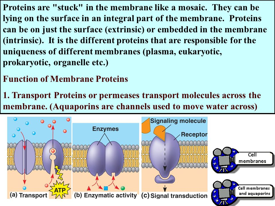 Proteins are stuck in the membrane like a mosaic.