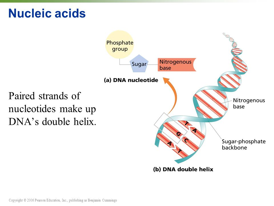 Copyright © 2006 Pearson Education, Inc., publishing as Benjamin Cummings Nucleic acids Paired strands of nucleotides make up DNA's double helix.