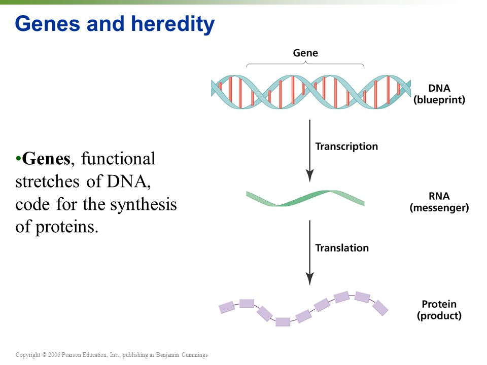 Copyright © 2006 Pearson Education, Inc., publishing as Benjamin Cummings Genes and heredity Genes, functional stretches of DNA, code for the synthesis of proteins.