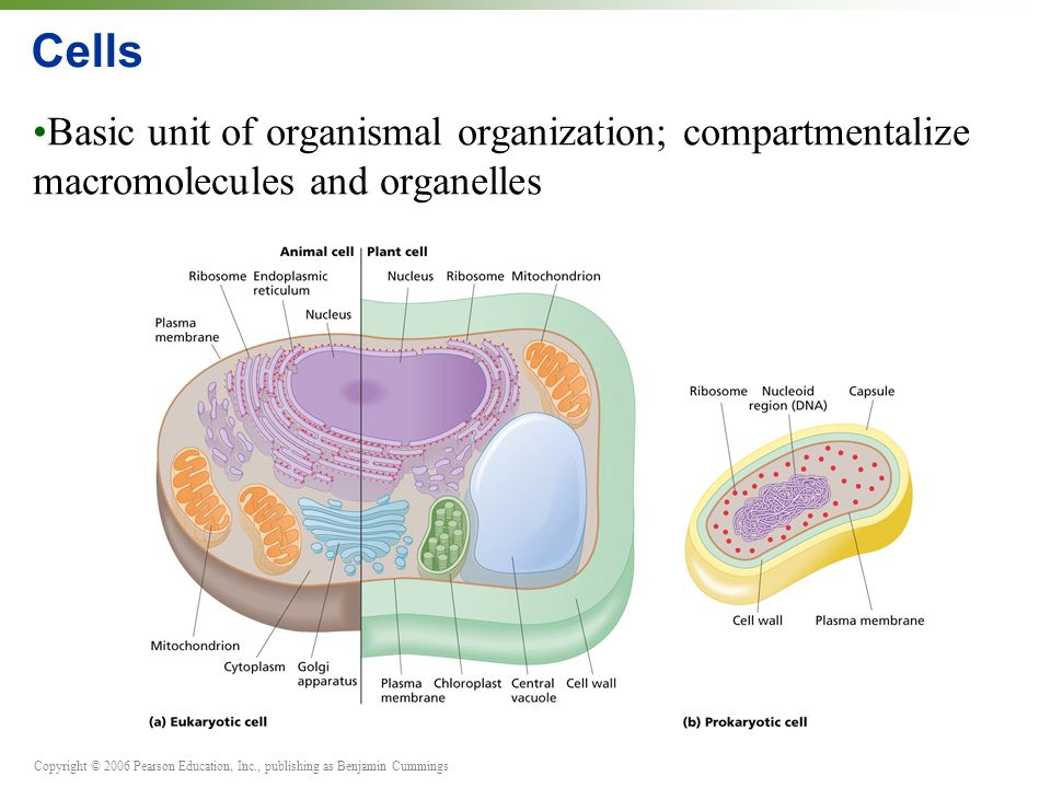 Copyright © 2006 Pearson Education, Inc., publishing as Benjamin Cummings Cells Basic unit of organismal organization; compartmentalize macromolecules and organelles