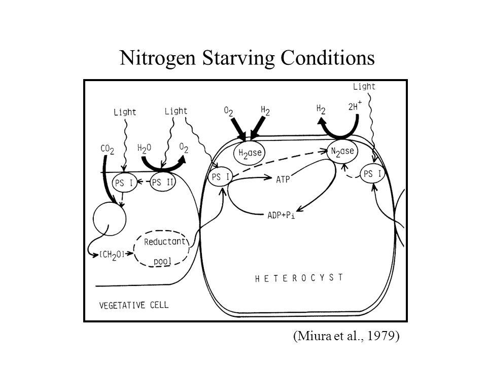 Nitrogen Starving Conditions (Miura et al., 1979)