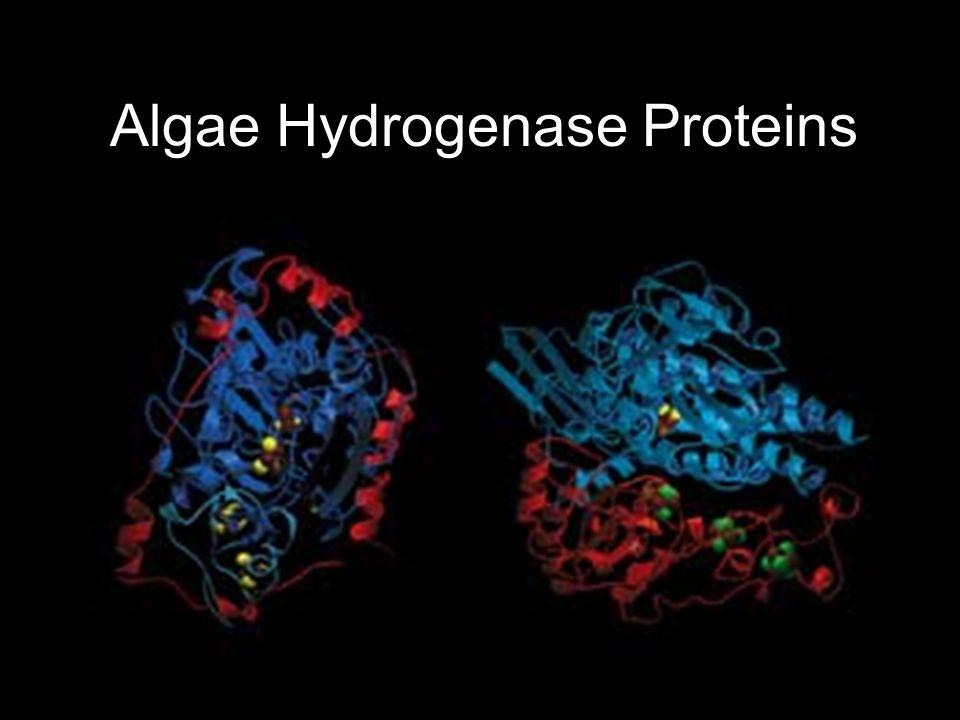Algae Hydrogenase Proteins