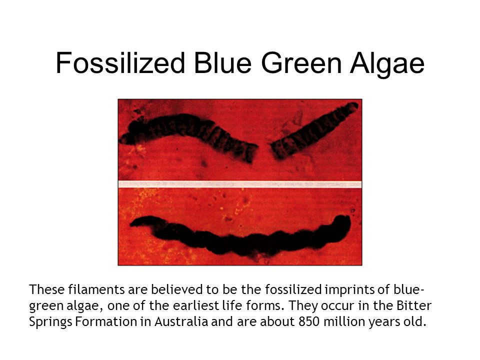Fossilized Blue Green Algae These filaments are believed to be the fossilized imprints of blue- green algae, one of the earliest life forms.
