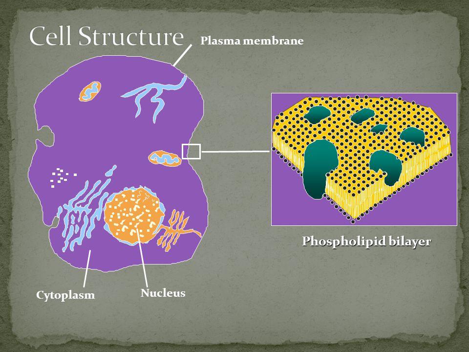 Nucleus Cytoplasm Plasma membrane Phospholipid bilayer