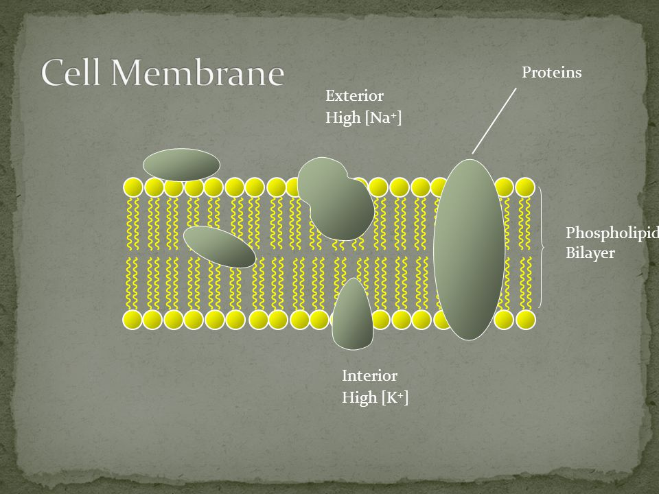 Phospholipid Bilayer Exterior High [Na + ] Interior High [K + ] Proteins