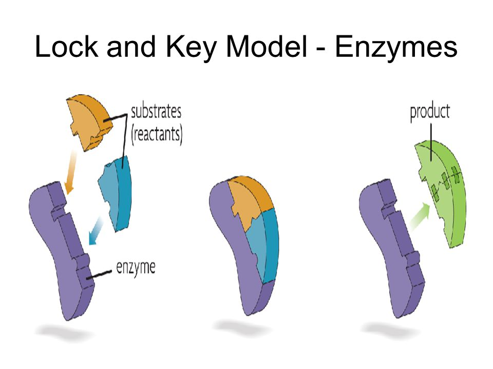 Lock and Key Model - Enzymes
