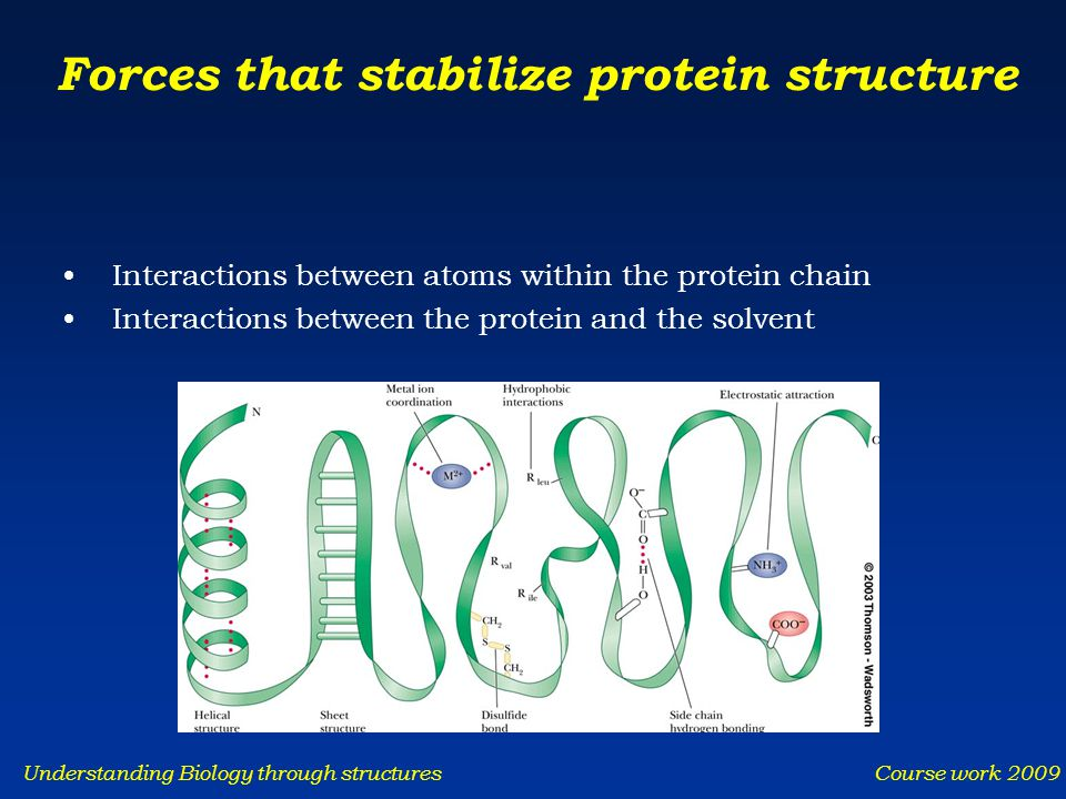 Understanding Biology through structures Course work 2009 Forces that stabilize protein structure Interactions between atoms within the protein chain Interactions between the protein and the solvent