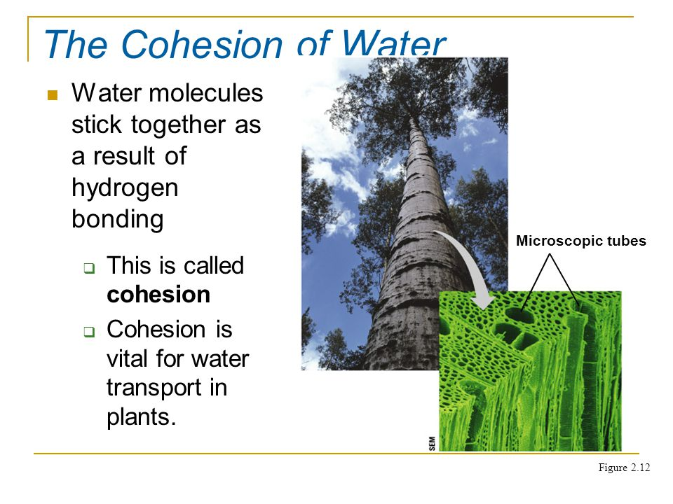 Water molecules stick together as a result of hydrogen bonding The Cohesion of Water  This is called cohesion  Cohesion is vital for water transport in plants.