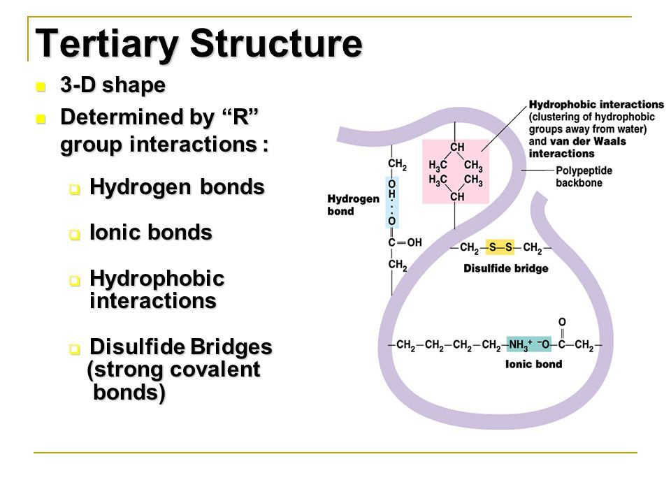 3-D shape 3-D shape Determined by R group interactions : Determined by R group interactions :  Hydrogen bonds  Ionic bonds  Hydrophobic interactions  Disulfide Bridges (strong covalent (strong covalent bonds) bonds) Tertiary Structure