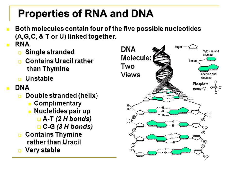 Both molecules contain four of the five possible nucleotides (A,G,C, & T or U) linked together.