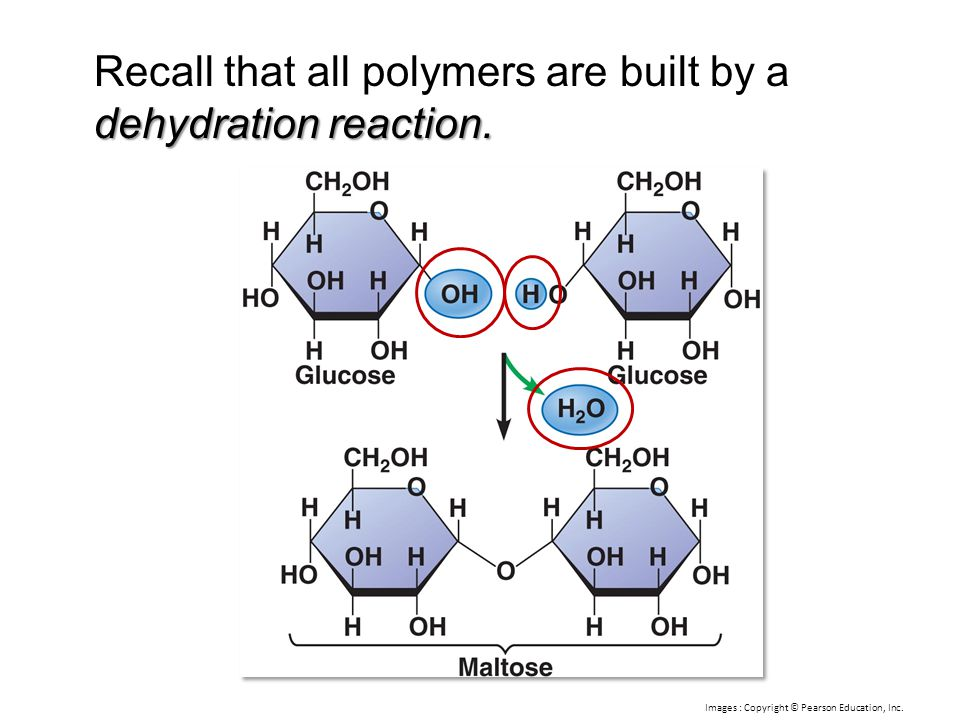 dehydration reaction. Recall that all polymers are built by a dehydration reaction. Images : Copyright © Pearson Education, Inc.