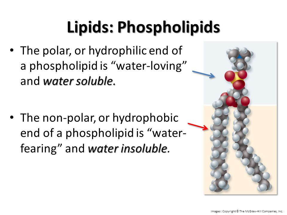 """Lipids: Phospholipids water soluble. The polar, or hydrophilic end of a phospholipid is """"water-loving"""" and water soluble. water insoluble The non-pola"""