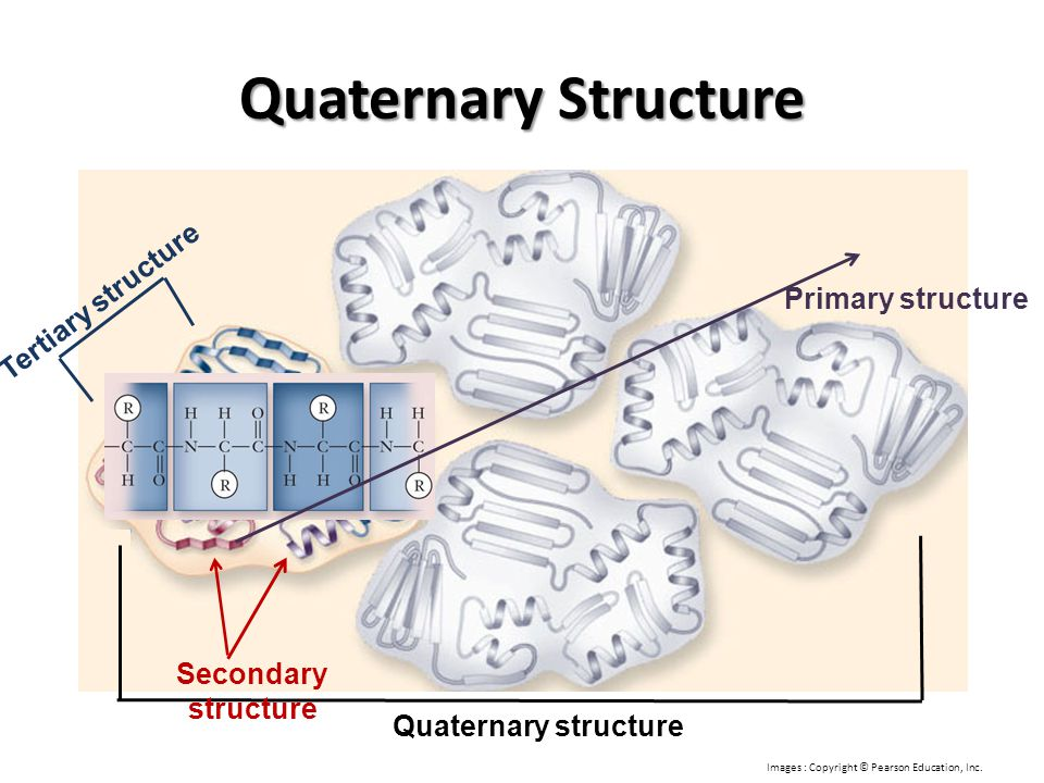 Quaternary Structure Quaternary structure Tertiary structure Secondary structure Primary structure Images : Copyright © Pearson Education, Inc.