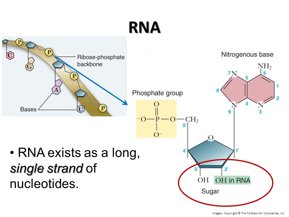 RNA single strand RNA exists as a long, single strand of nucleotides. Images : Copyright © The McGraw-Hill Companies, Inc.