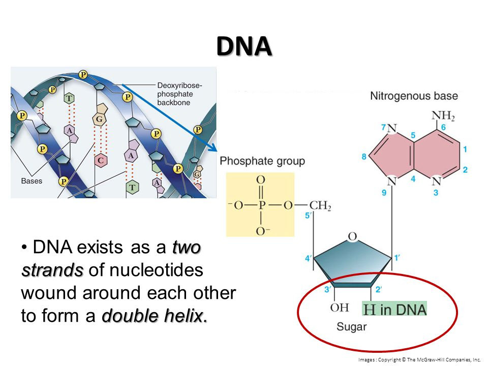 DNA two strands double helix. DNA exists as a two strands of nucleotides wound around each other to form a double helix. Images : Copyright © The McGr