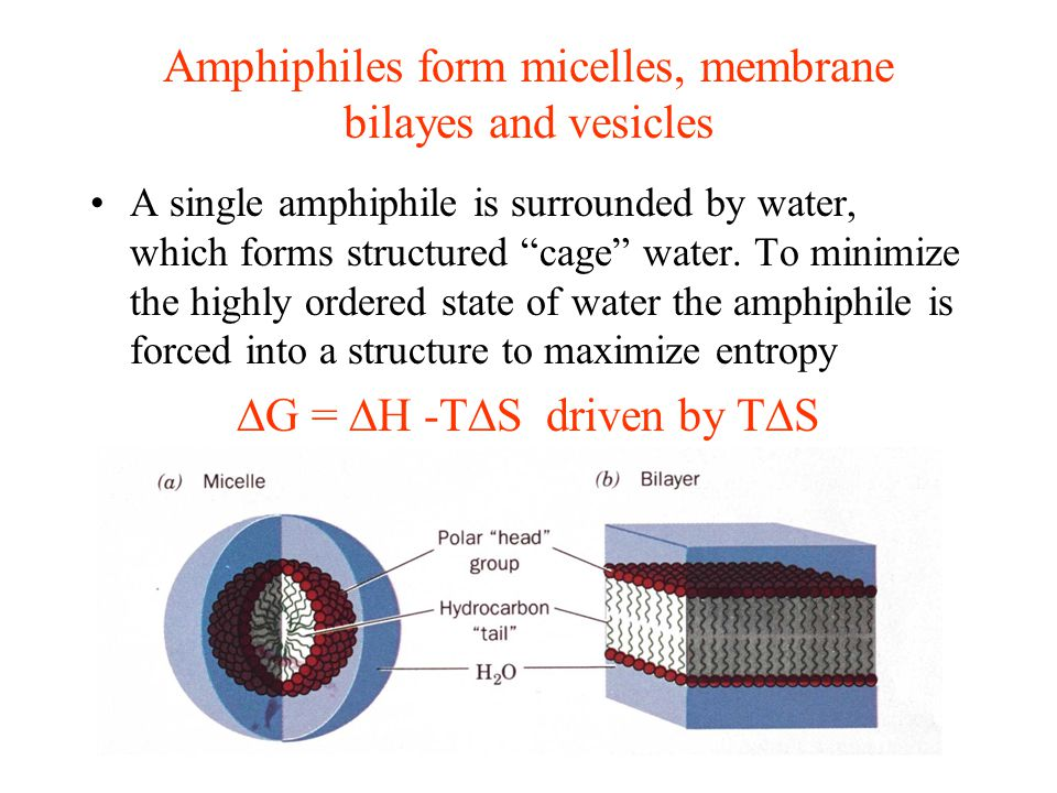 Amphiphiles form micelles, membrane bilayes and vesicles A single amphiphile is surrounded by water, which forms structured cage water.