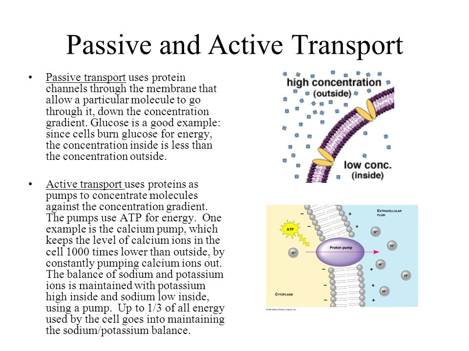 Passive and Active Transport Passive transport uses protein channels through the membrane that allow a particular molecule to go through it, down the