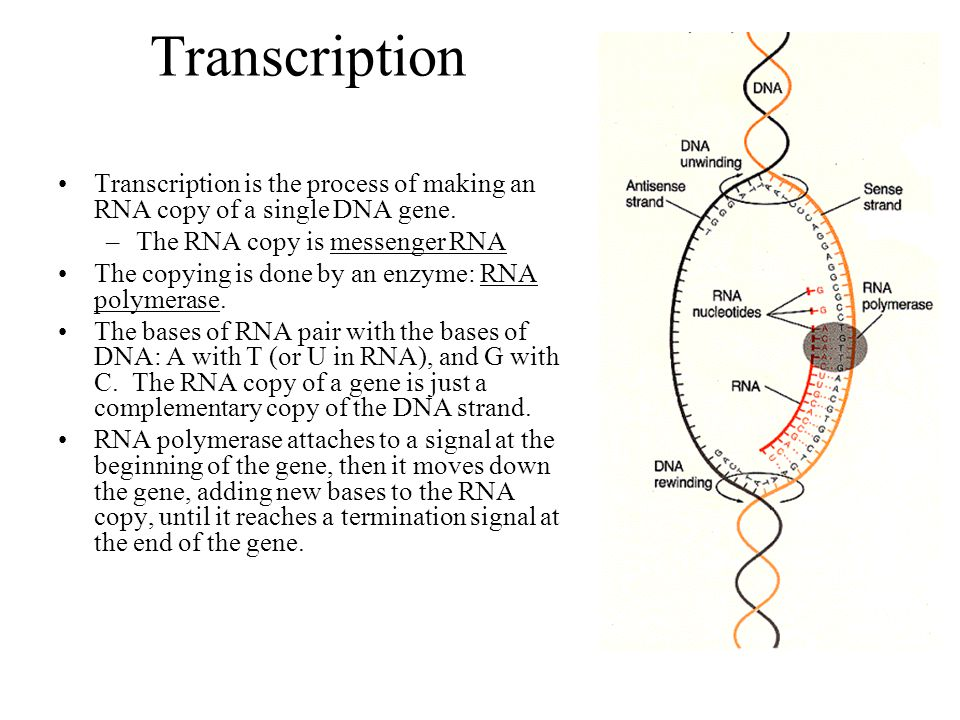 Transcription Transcription is the process of making an RNA copy of a single DNA gene. –The RNA copy is messenger RNA The copying is done by an enzyme