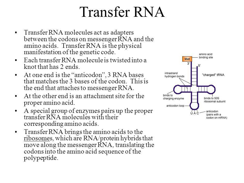 Transfer RNA Transfer RNA molecules act as adapters between the codons on messenger RNA and the amino acids. Transfer RNA is the physical manifestatio