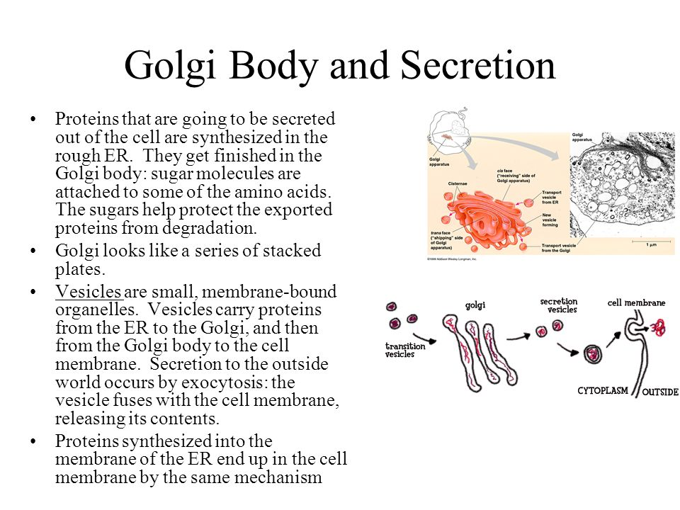 Golgi Body and Secretion Proteins that are going to be secreted out of the cell are synthesized in the rough ER. They get finished in the Golgi body:
