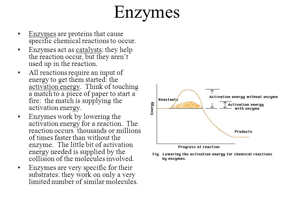 Enzymes Enzymes are proteins that cause specific chemical reactions to occur. Enzymes act as catalysts: they help the reaction occur, but they aren't