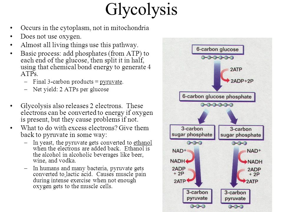 Glycolysis Occurs in the cytoplasm, not in mitochondria Does not use oxygen. Almost all living things use this pathway. Basic process: add phosphates