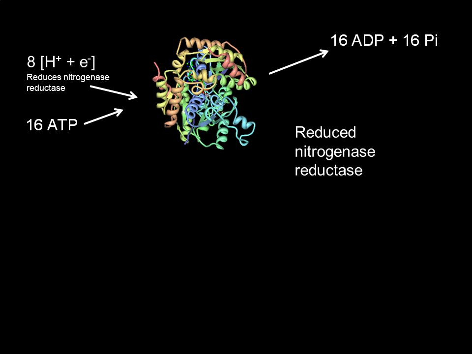 8 [H + + e - ] Reduces nitrogenase reductase Reduced nitrogenase reductase