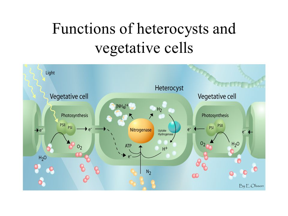 Functions of heterocysts and vegetative cells