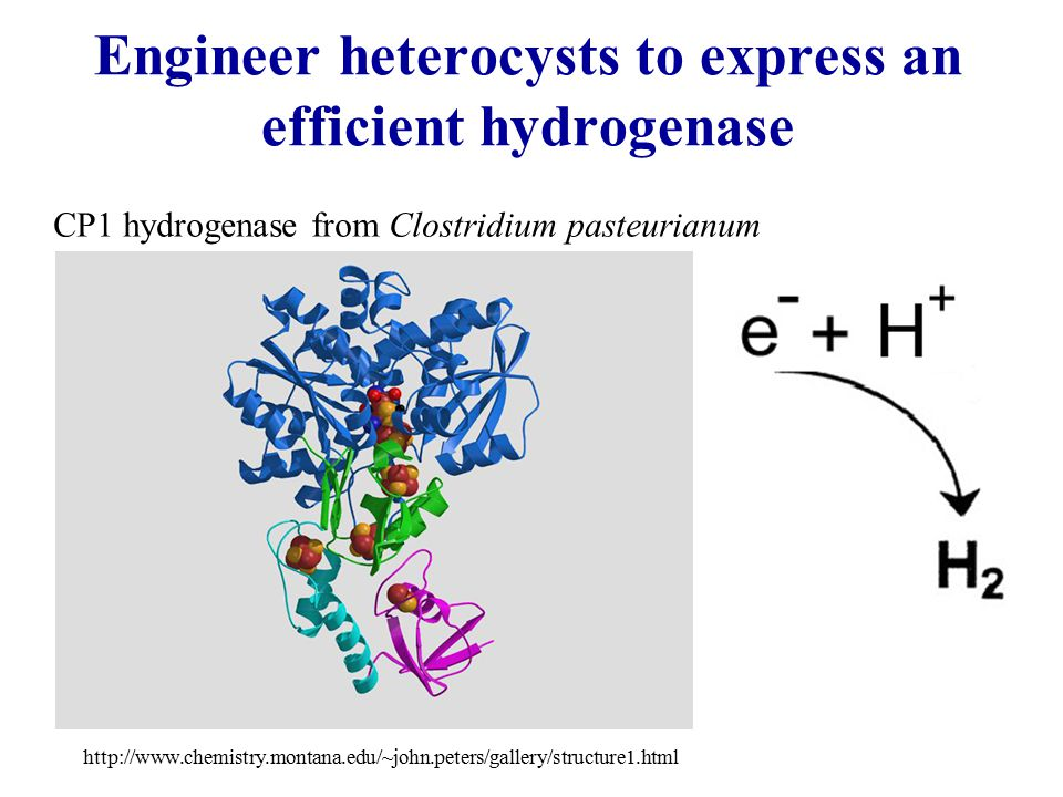 Engineer heterocysts to express an efficient hydrogenase http://www.chemistry.montana.edu/~john.peters/gallery/structure1.html CP1 hydrogenase from Clostridium pasteurianum