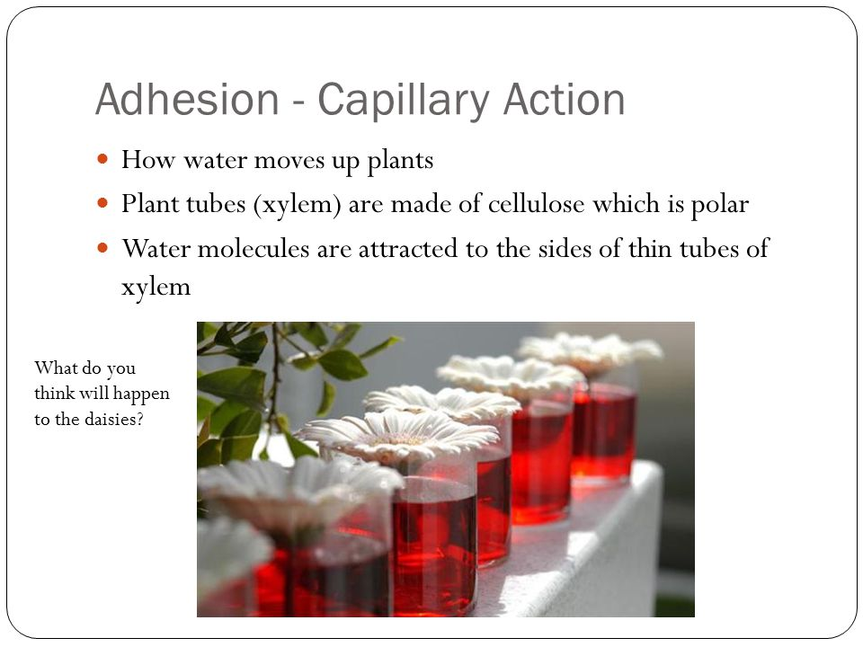 Adhesion - Capillary Action How water moves up plants Plant tubes (xylem) are made of cellulose which is polar Water molecules are attracted to the sides of thin tubes of xylem What do you think will happen to the daisies