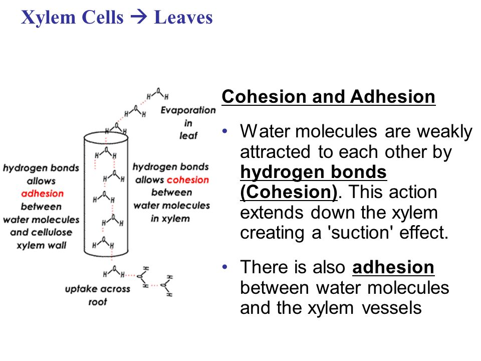 Xylem Cells  Leaves Cohesion and Adhesion Water molecules are weakly attracted to each other by hydrogen bonds (Cohesion).