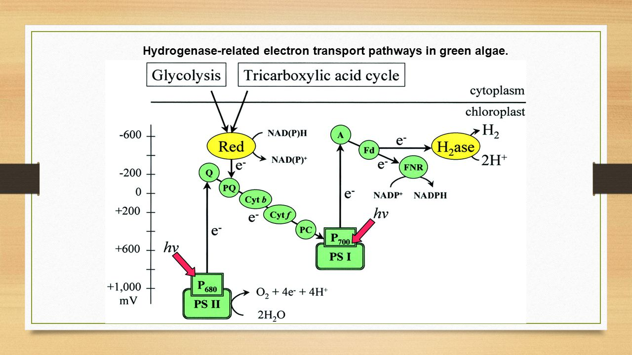 Hydrogenase-related electron transport pathways in green algae.