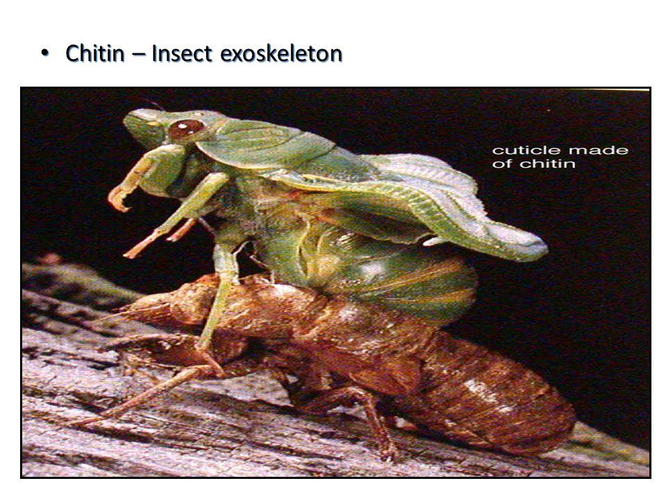 Chitin – Insect exoskeleton Chitin – Insect exoskeleton