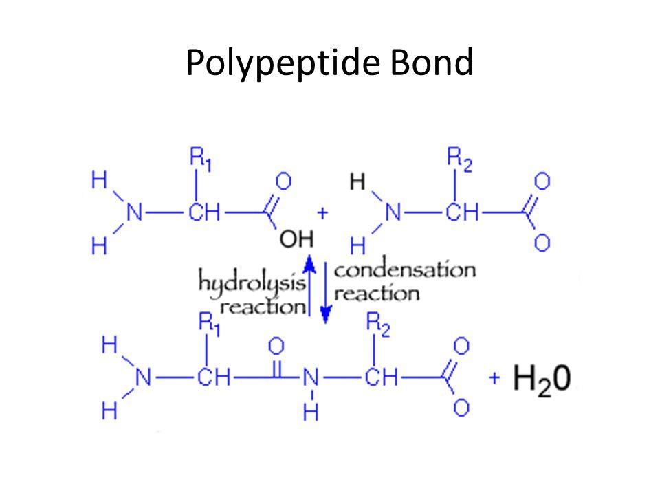Polypeptide Bond