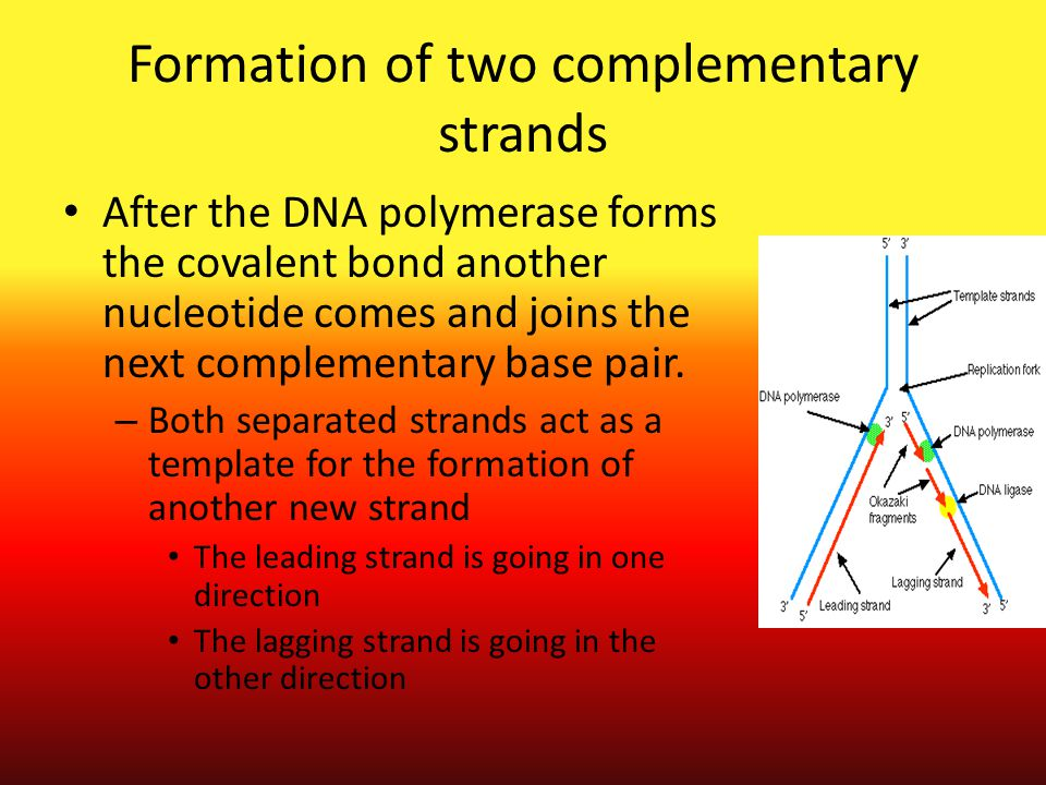 Formation of two complementary strands After the DNA polymerase forms the covalent bond another nucleotide comes and joins the next complementary base