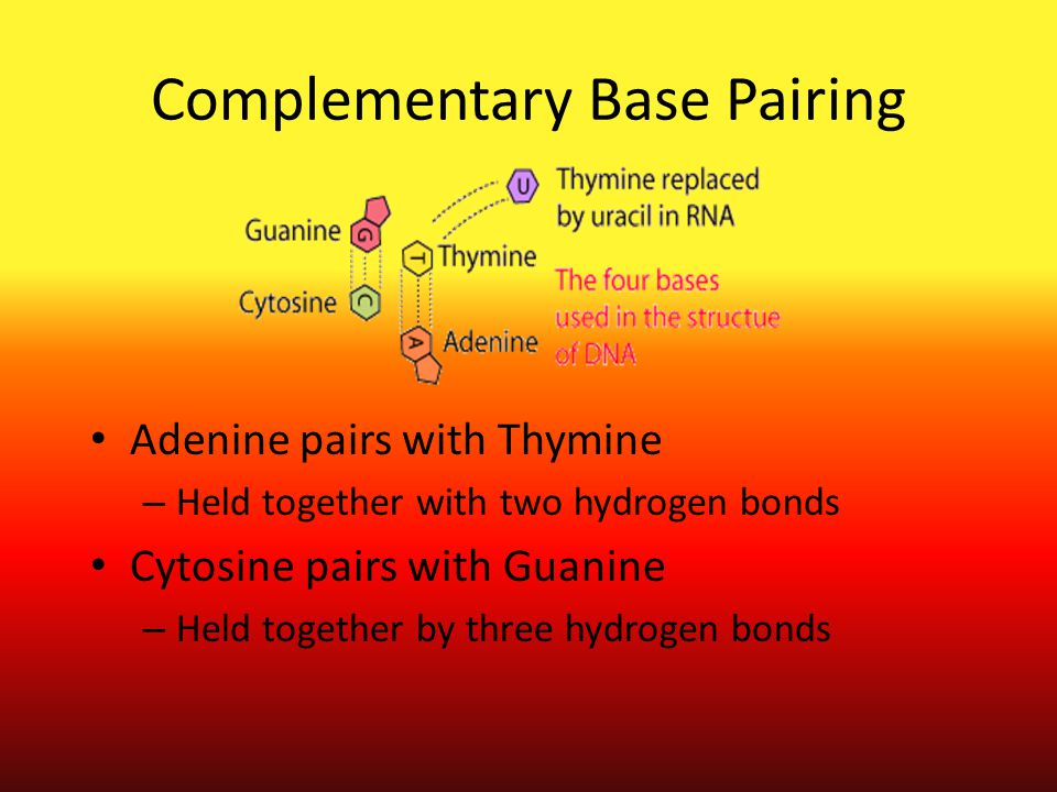 Complementary Base Pairing Adenine pairs with Thymine – Held together with two hydrogen bonds Cytosine pairs with Guanine – Held together by three hyd