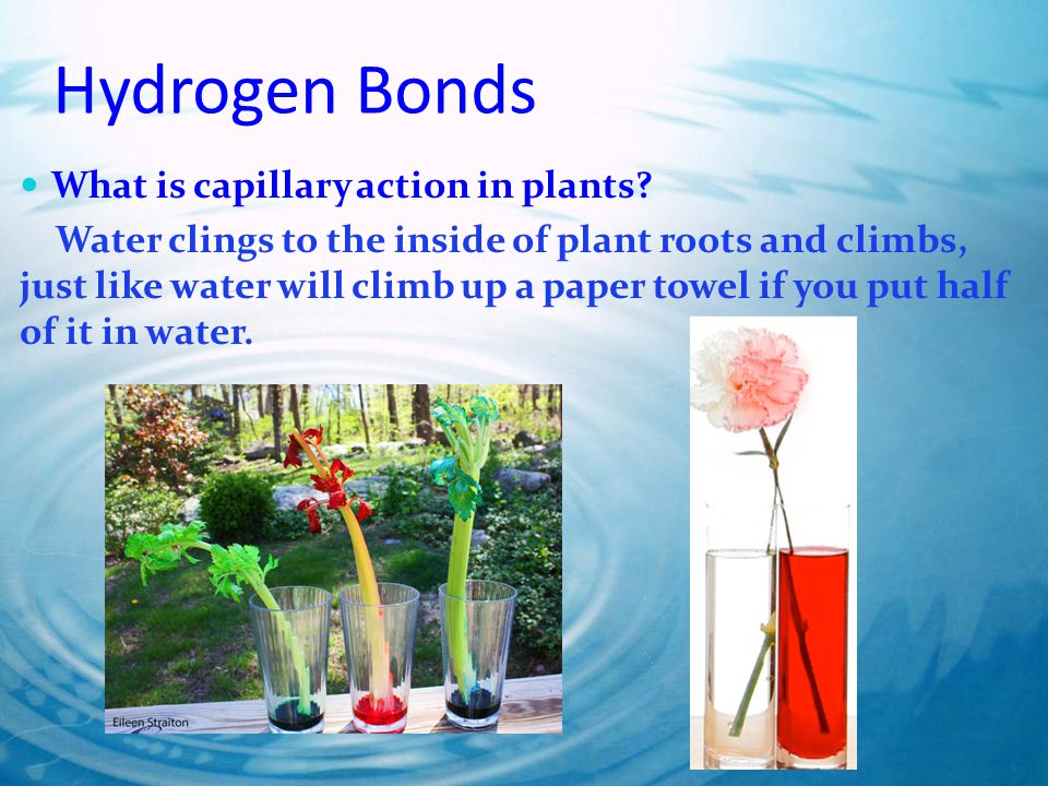 Hydrogen Bonds What is capillary action in plants.