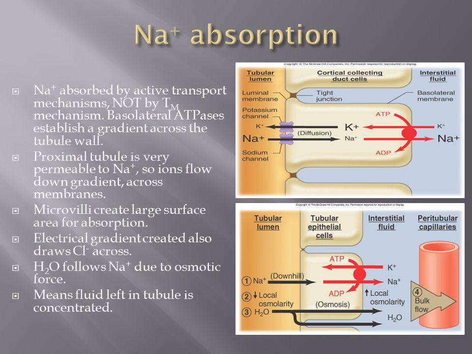  Na + absorbed by active transport mechanisms, NOT by T M mechanism. Basolateral ATPases establish a gradient across the tubule wall.  Proximal tubu