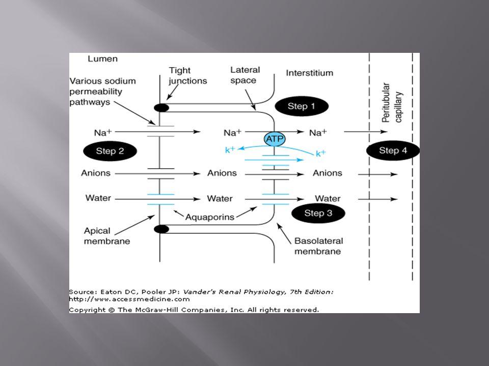 Luminal factors StimulatorsInhibitors  Flow rate  [K + ]  [Na + ]  [Cl - ]  [Cl - ]  [Ca 2+ ]  [HCO 3 - ]Ba 2+ -ve luminal voltageAmiloride Selected Diuretics Peritubular Factors StimulatorsInhibitors  K + intake  pH  [K + ]Adrenaline  pH Aldosterone ADH