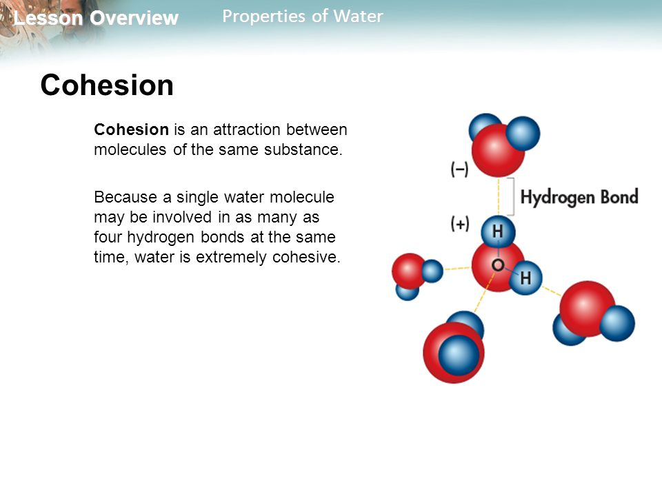 Lesson Overview Lesson Overview Properties of Water Cohesion Cohesion is an attraction between molecules of the same substance. Because a single water