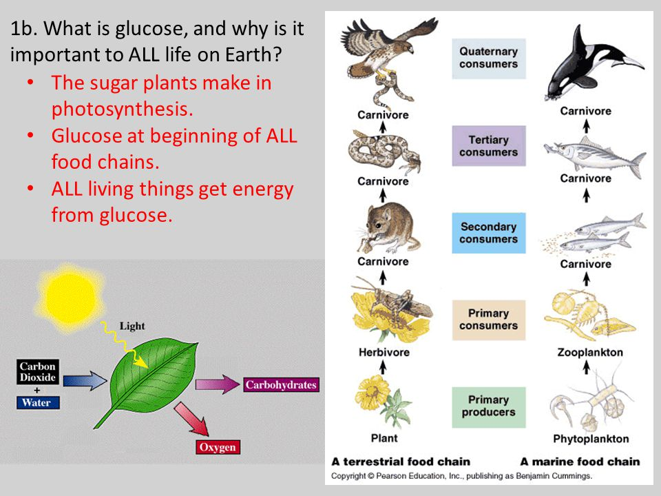1b. What is glucose, and why is it important to ALL life on Earth.