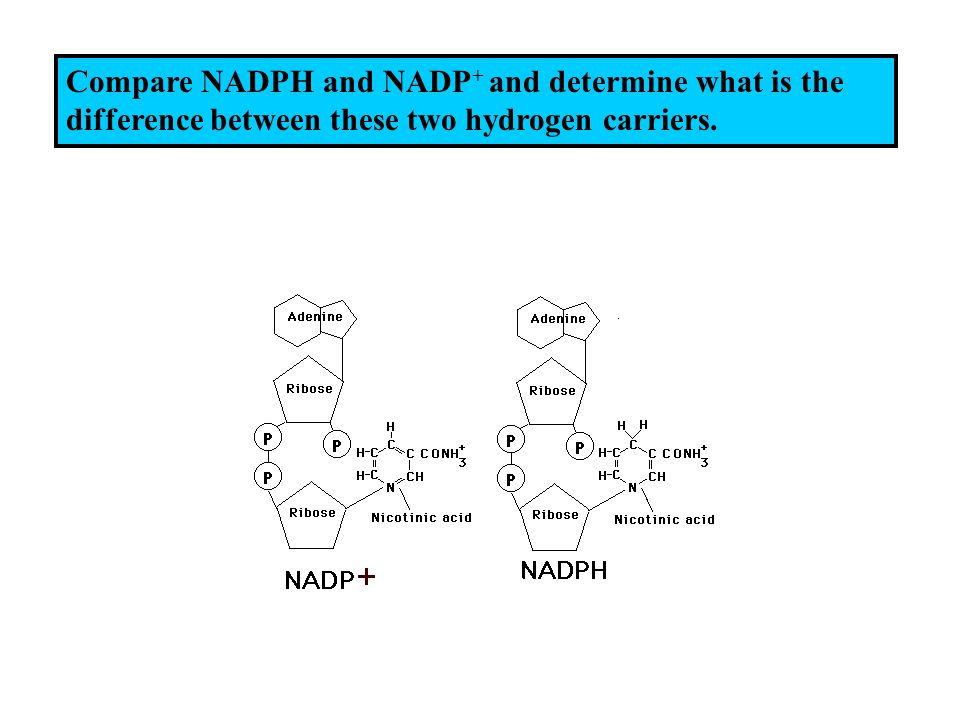 Compare NADPH and NADP + and determine what is the difference between these two hydrogen carriers.