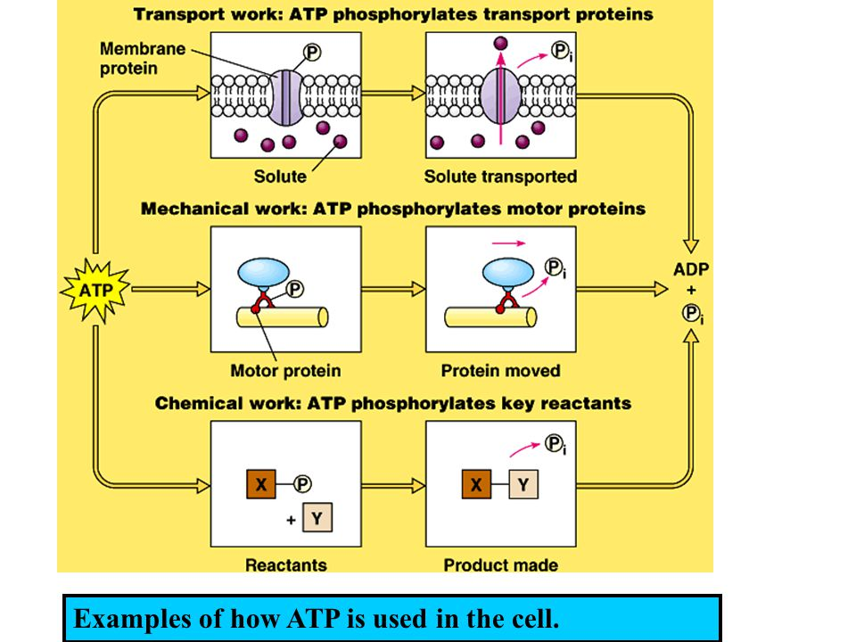 Examples of how ATP is used in the cell.