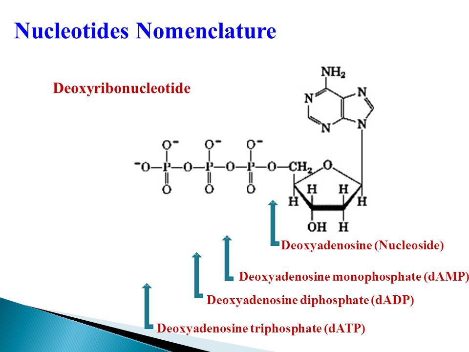 Deoxyadenosine monophosphate (dAMP) Deoxyadenosine diphosphate (dADP) Deoxyadenosine (Nucleoside) Deoxyadenosine triphosphate (dATP) Deoxyribonucleotide Nucleotides Nomenclature