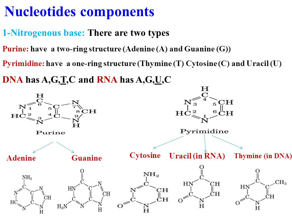1-Nitrogenous base: There are two types Purine: have a two-ring structure (Adenine (A) and Guanine (G)) Pyrimidine: have a one-ring structure (Thymine (T) Cytosine (C) and Uracil (U) DNA has A,G,T,C and RNA has A,G,U,C Adenine Guanine Nucleotides components Cytosine Uracil (in RNA) Thymine (in DNA)