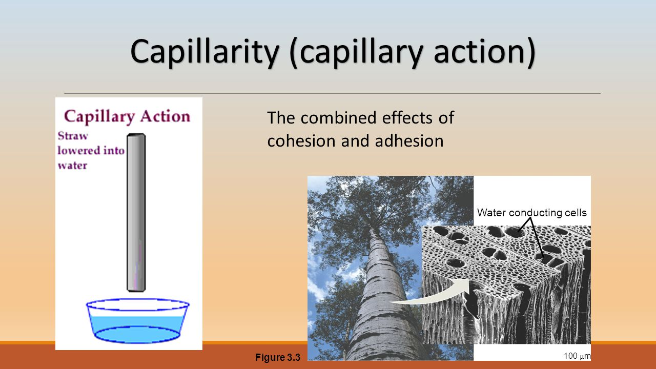 Capillarity (capillary action) Water conducting cells 100 µ m Figure 3.3 The combined effects of cohesion and adhesion